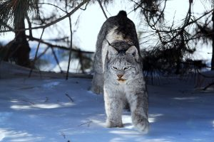1st January - Peter Tracz -Canadian Lynx Lakeshore Dr